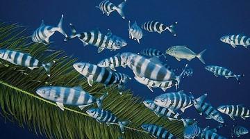 Banco di pesci pilota in un cannizzo, con sullo sfondo anche una leccia