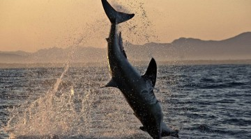 Ciò che gli squali bianchi fanno alle foche