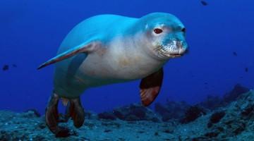 Una foca monaca delle Hawaii