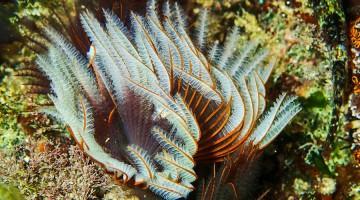 Questo polichete alieno è stato identificato come Branchiomma luctuosum