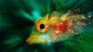 Un peperoncino ritratto nel suo ambiente naturale, con la raggiatura dell'effetto zoom che sembra partire proprio dall'occhio