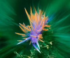 Un nudibranco su un idrozoo; l'illuminazione del flash sul solo soggetto crea un interessante effetto cromatico, enfatizzato dall'effetto zoom sullo sfondo