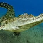Un coccodrillo di mare mentre cammina sul fondo sabbioso; l'effetto zoom enfatizza il movimento in avanti dell'animale creando un senso di tridimensionalità