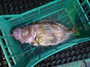 Zeus faber, alias pesce San Pietro, la specie di cui un esemplare è stato sorbonato all'Isola del Giglio