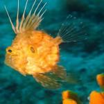 Un cucciolo di pesce San Pietro (Zeus faber)