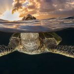 Honu Sunburst - Green sea turtle taking a breath while enjoying the Hawaiian sunset