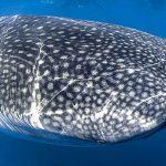 squalo_balena