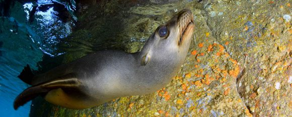The sea lion and thefin swimming