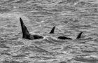 Le orche di Voltri