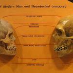 1-APRE-Sapiens_neanderthal_comparison.Wikipedia